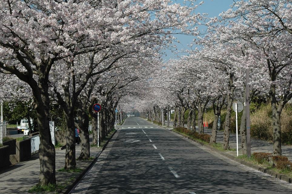 神明町(桜並木)